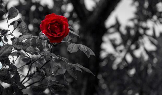 ultima flor